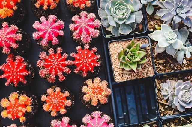 barevné kaktusy